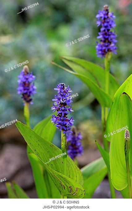 Pickerelweed, Pontederia cordata, Ellerstadt, Germany, Europe, blooming at gardenpond