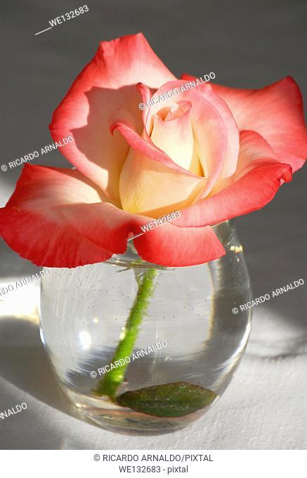 Variegated Rose in Vase