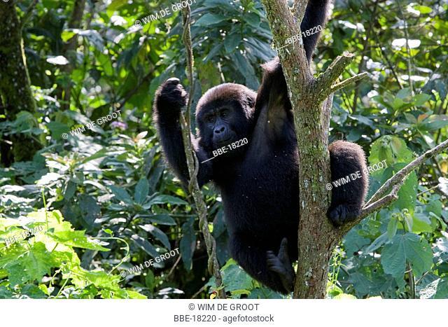 Mountain Gorilla (Gorilla beringei beringei) in a tree