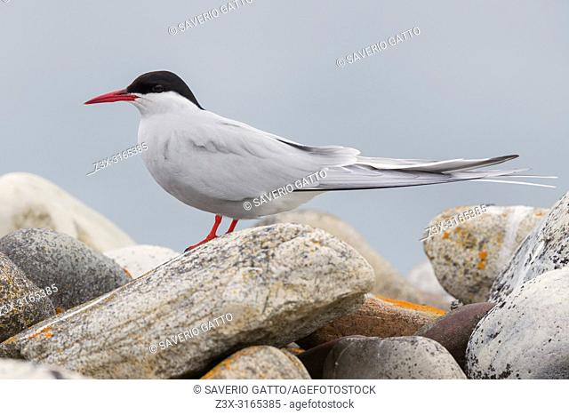 Arctic Tern (Sterna paradisaea), adult standing on a stone