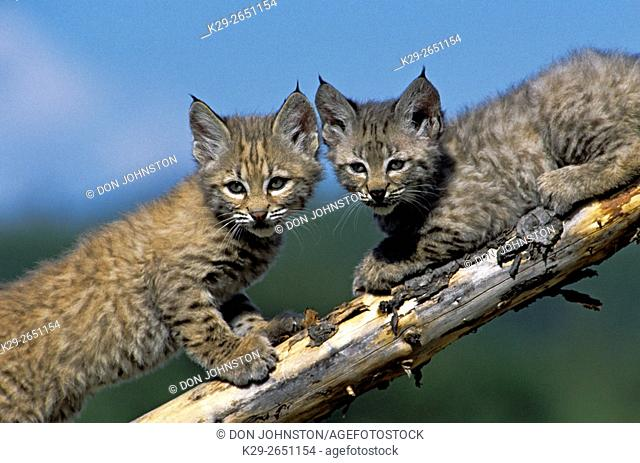 Bobcat (Felis rufus) Kittens, captive raised, Columbia Falls, Montana, USA