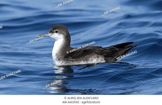 First-year Persian Shearwater (Puffinus persicus) off Mirbat in Oman