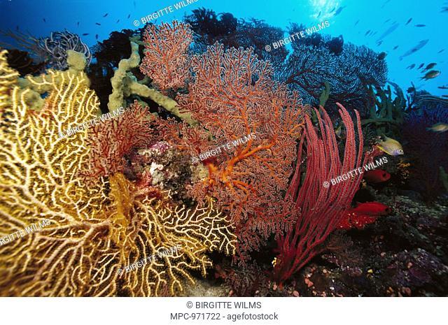 Reef scenic with yellow Sea Fan Melithaea sp, Sea Fan Acabaria sp, Sea Whips Ctenocella ellisella sp, and Golden Damselfish Amblyglyphidodon aureus