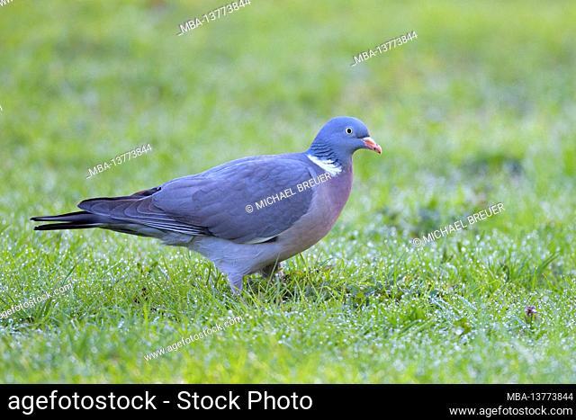 Wood pigeon (Columba palumbus) in a meadow, spring, April, Hesse, Germany