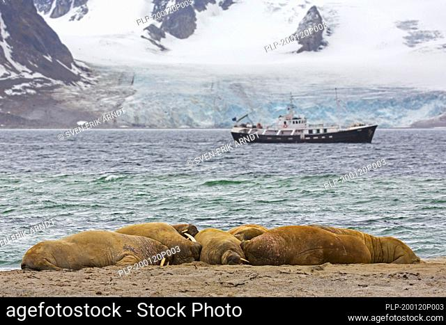Group of walruses (Odobenus rosmarus) resting on beach in front of boat with eco-tourists, Svalbard / Spitsbergen, Norway