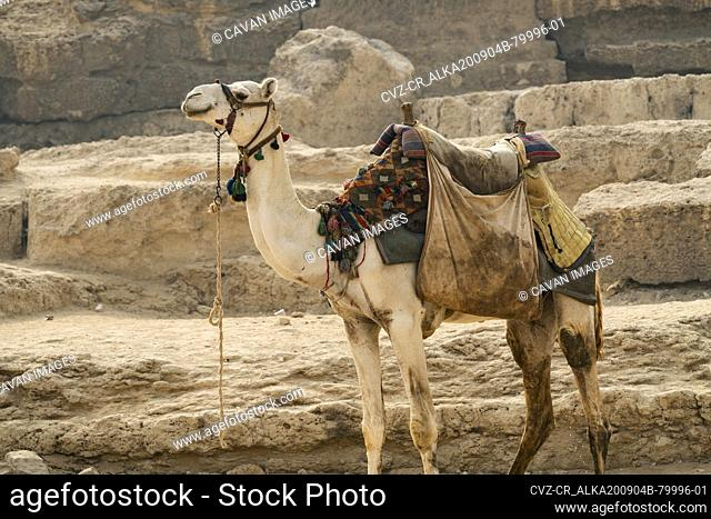 A camel standing tied up next to a pyramid in Giza