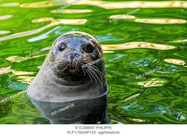 Common seal / harbor seal / harbour seal (Phoca vitulina) floating in water, close up portrait