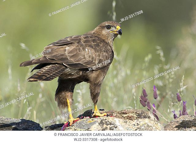 Common buzzard (Buteo buteo) on the rocks in Extremadura, Spain