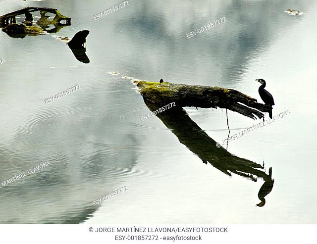 Fiordland Bird Reflection