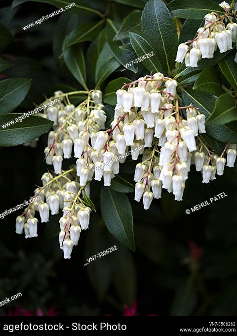 Close up of cluster white bell shaped flowers of pieris ' forest flame' evergreen shrub