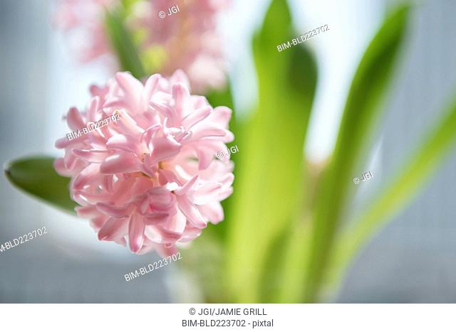 Close up of pink flowers in vase