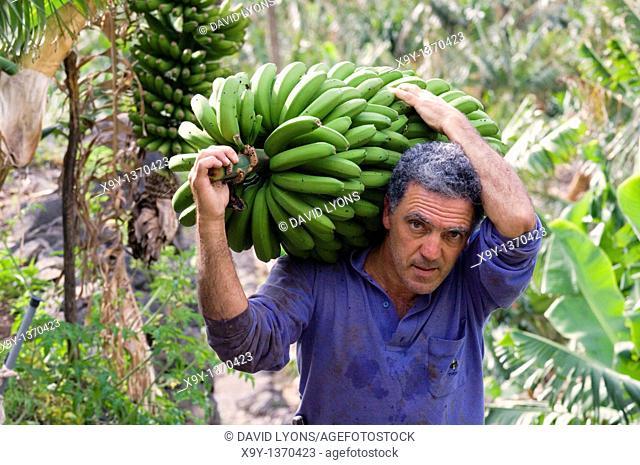 Local man farmer harvesting bananas in banana plantation at Hermigua on island of La Gomera, Canary Islands