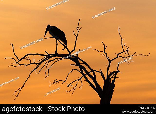 Marabu stork, Leptoptilos crumeniferus, at sunset, Masai Mara National Reserve, Kenya, Africa