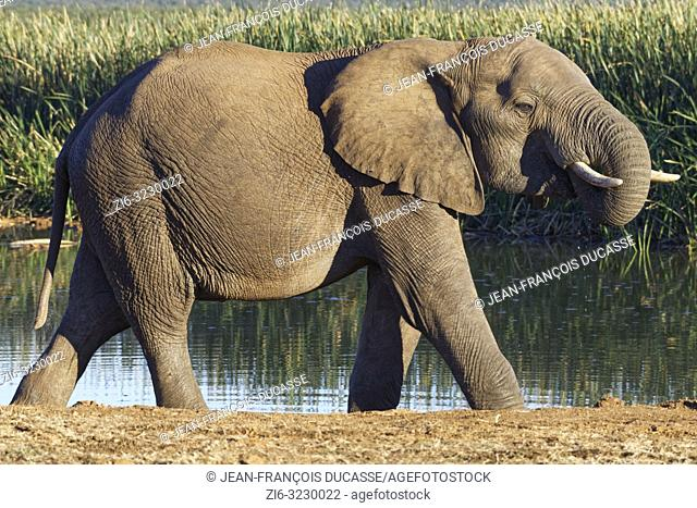 African bush elephant (Loxodonta africana), young male, walking at a waterhole, Addo Elephant National Park, Eastern Cape, South Africa, Africa