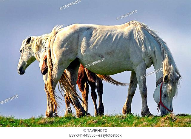 feral horses in mountain area; in Romania, they are released in the wild from spring to late autumn