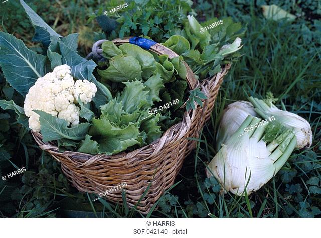 Cauliflower,fennel and lettuce in a basket