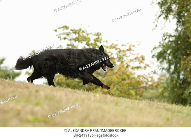 German Shepherd running across a meadow