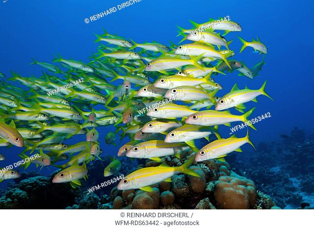 Shaol of Yellowfin Goatfish, Mulloidichthys vanicolensis, Shaab Claudio, Red Sea, Egypt