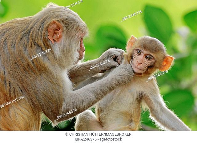Rhesus Monkey or Macaque, (Macaca mulatta), female with young, Keoladeo Ghana National Park, Rajasthan, India, Asia
