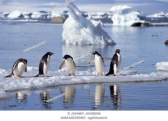 Adelie Penguins (Pygoscelis adeliae) on ice floe reflected in the water, Devil's Island, Weddell Sea, Antarctic Peninsula, Antarctica