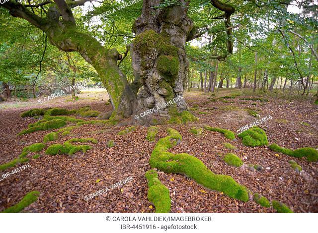 Old European beech (Fagus sylvatica), natural monument, Hutewald Halloh, Albertshausen, Kellerwald-Edersee National Park, Hesse, Germany