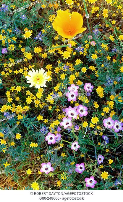 Wildflowers. Antelope Valley. California. USA