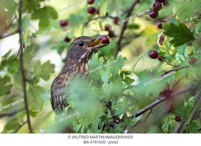 Song thrush (Turdus philomelos) with berry in beak, Common hawthorn (Crataegus monogyna), Hesse, Germany