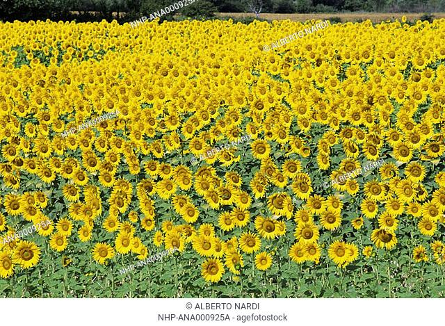 SUNFLOWER CROP in flower, Helianthus sp , Provence, southern France