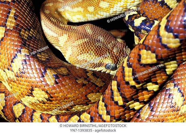 Close up of a colourful corn snake Family Elaphe curled up at rest