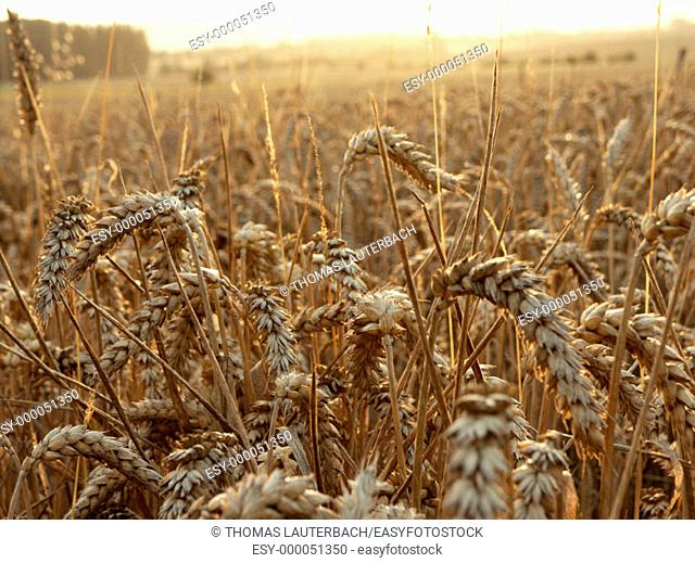 Wheat field. Lower Saxony, Germany