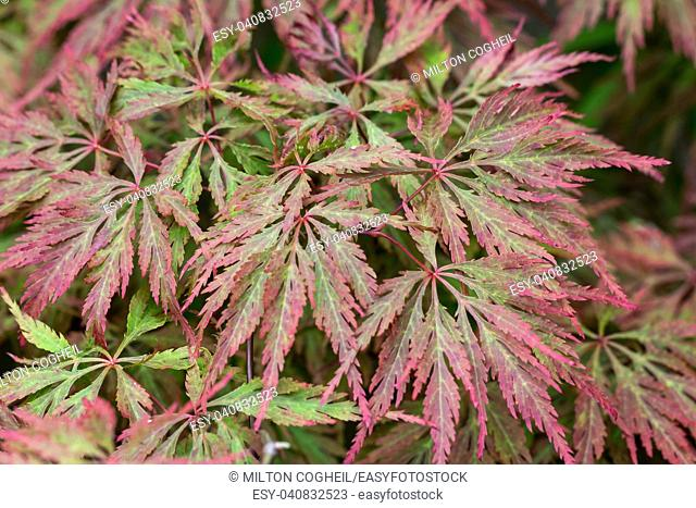 The leaves of a Japanese Maple plant
