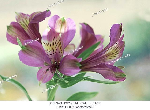 Alstroemeria 'Perfect blue', flowers against soft focus background