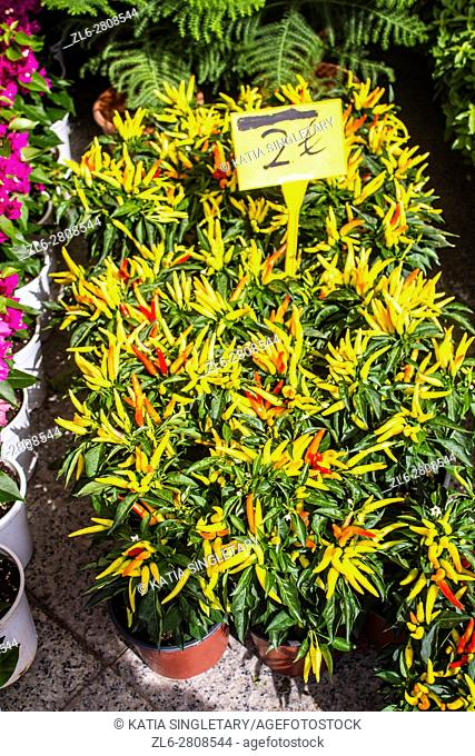 Ornamental yellow and red Chillies as a plant for sale for 2 euros, at a Greek market in Athens