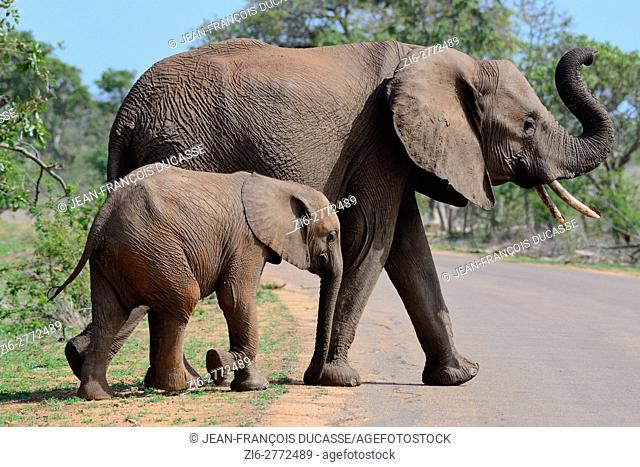 African bush elephants (Loxodonta africana), mother with young, crossing a tarred road, Kruger National Park, South Africa, Africa