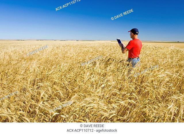 a man uses a tablet in a mature, harvest ready durum wheat field, near Ponteix, Saskatchewan, Canada