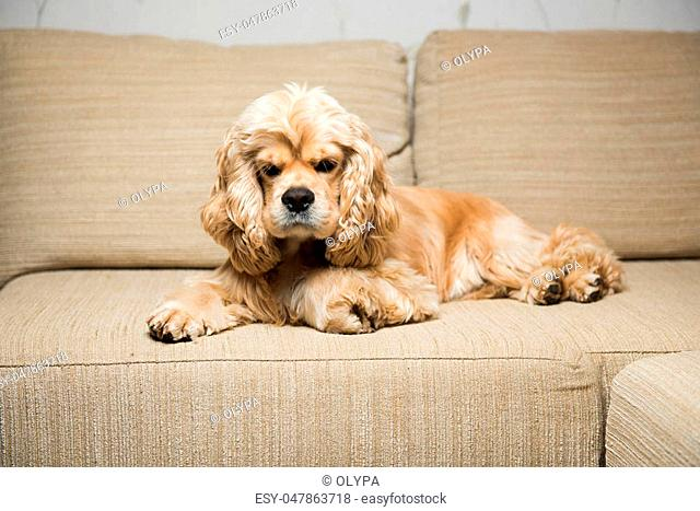 Young American cocker spaniel lying on a beige sofa. Interior living room