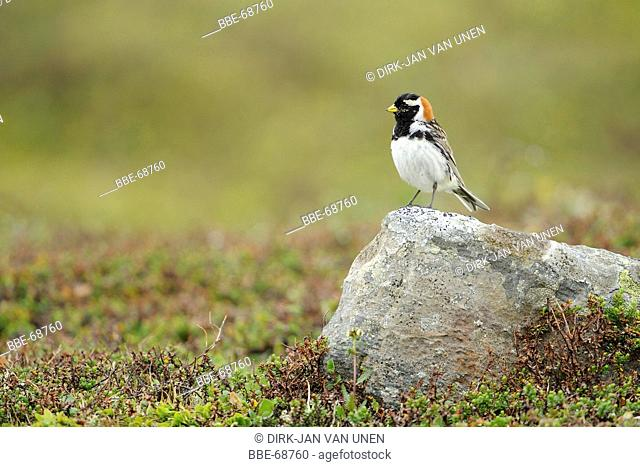 Lapland bunting adult male summer plumage standing on look-out