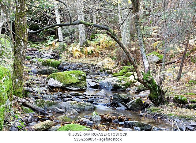 Sestil stream in Canencia birch. Sierra de la Morcuera. Madrid. Spain. Europe
