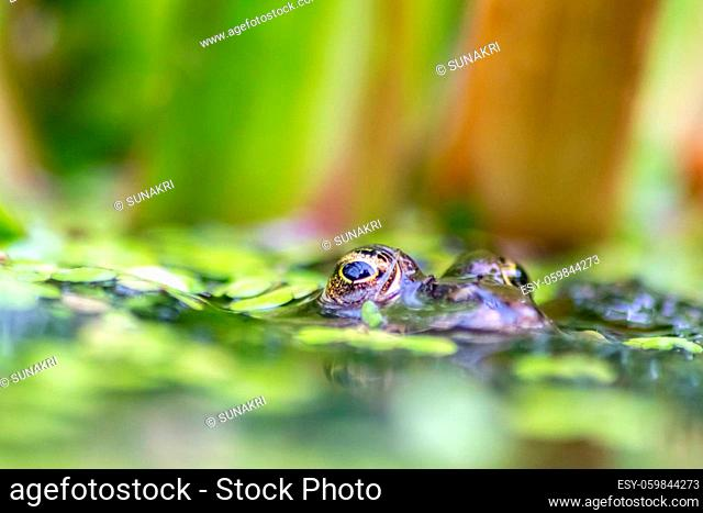 Big green frog lurking in a pond for insects like bees and flies in close-up-view and macro shot shows motionless amphibian with big eyes in a garden pond as...