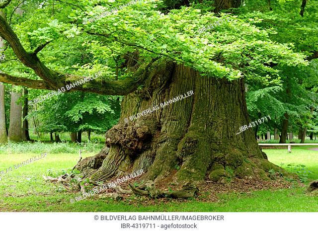 Oak of Ivenack, oldest oaks in Germany, Ivenack near Stavenhagen, Mecklenburg Lake District, Mecklenburg-Western Pomerania, Germany