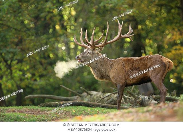 Red Deer - buck bellowing in rut season (Cervus elaphus). Germany