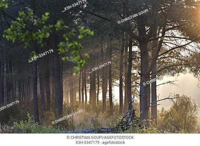 brume matinale dans une pinede du Parc naturel regional Loire Anjou Touraine, environs de Langeais, departement Indre-et-Loire, region Centre-Val de Loire