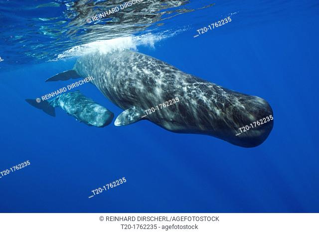 Sperm Whale Mother and Calf, Physeter macrocephalus, Caribbean Sea, Dominica