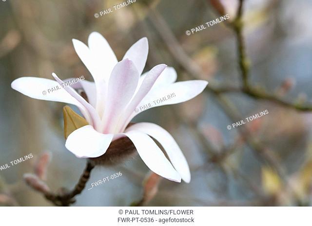 Magnolia Cultivar, Magnolia, White subject