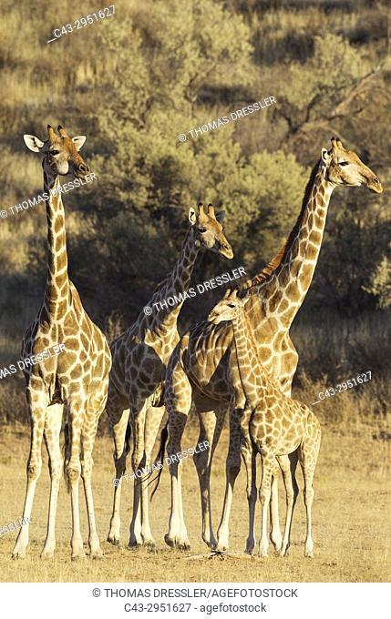 Southern Giraffe (Giraffa giraffa). Three females with young. Kalahari Desert, Kgalagadi Transfrontier Park, South Africa