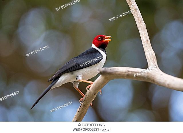 South America, Brasilia, Mato Grosso do Sul, Pantanal, Yellow-billed Cardinal, Paroaria capitata