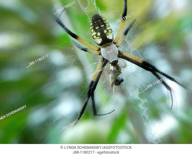 Black and yellow garden spider, Argiope aurantia with prey