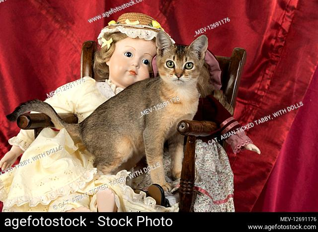 CAT. Asian ticked tabby, with dolls