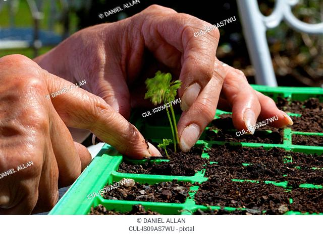 Senior woman planting seedling, focus on hands