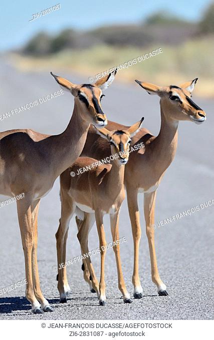 Black-faced impalas (Aepyceros melampus petersi), females standing on a paved road, Etosha National Park, Namibia, Africa